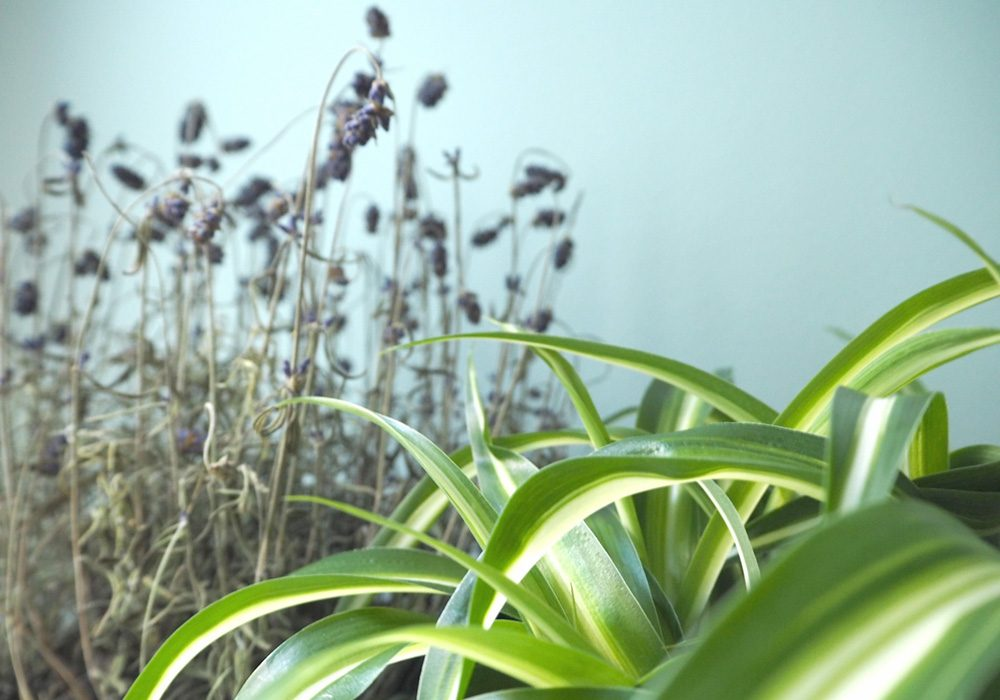 lavender and spider plant | simplisticly so